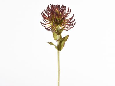 Protea vejica 66cm