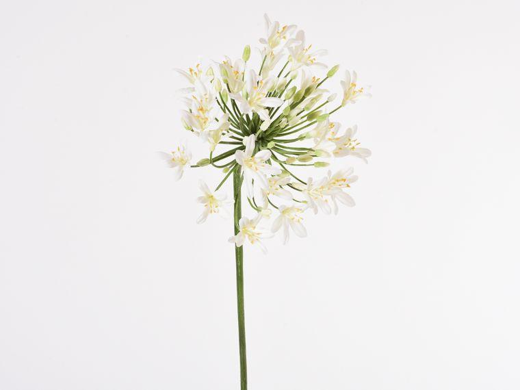 Agapanthus vejica 90cm